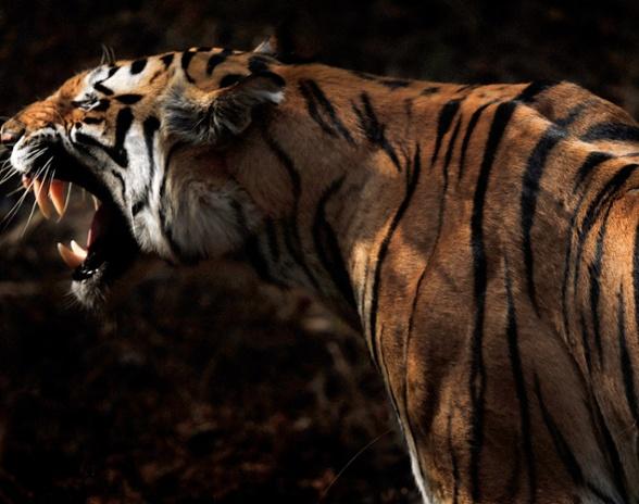 India Tiger-1