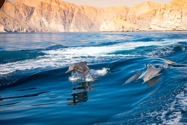 Dolphins jumping in Oman waves