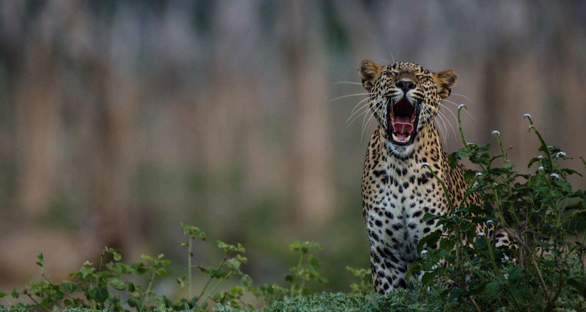 Leopard-Safaris-
